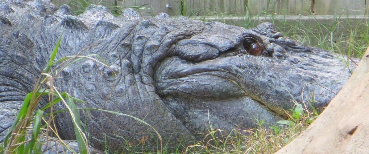 Alligator - Traveler of Charleston
